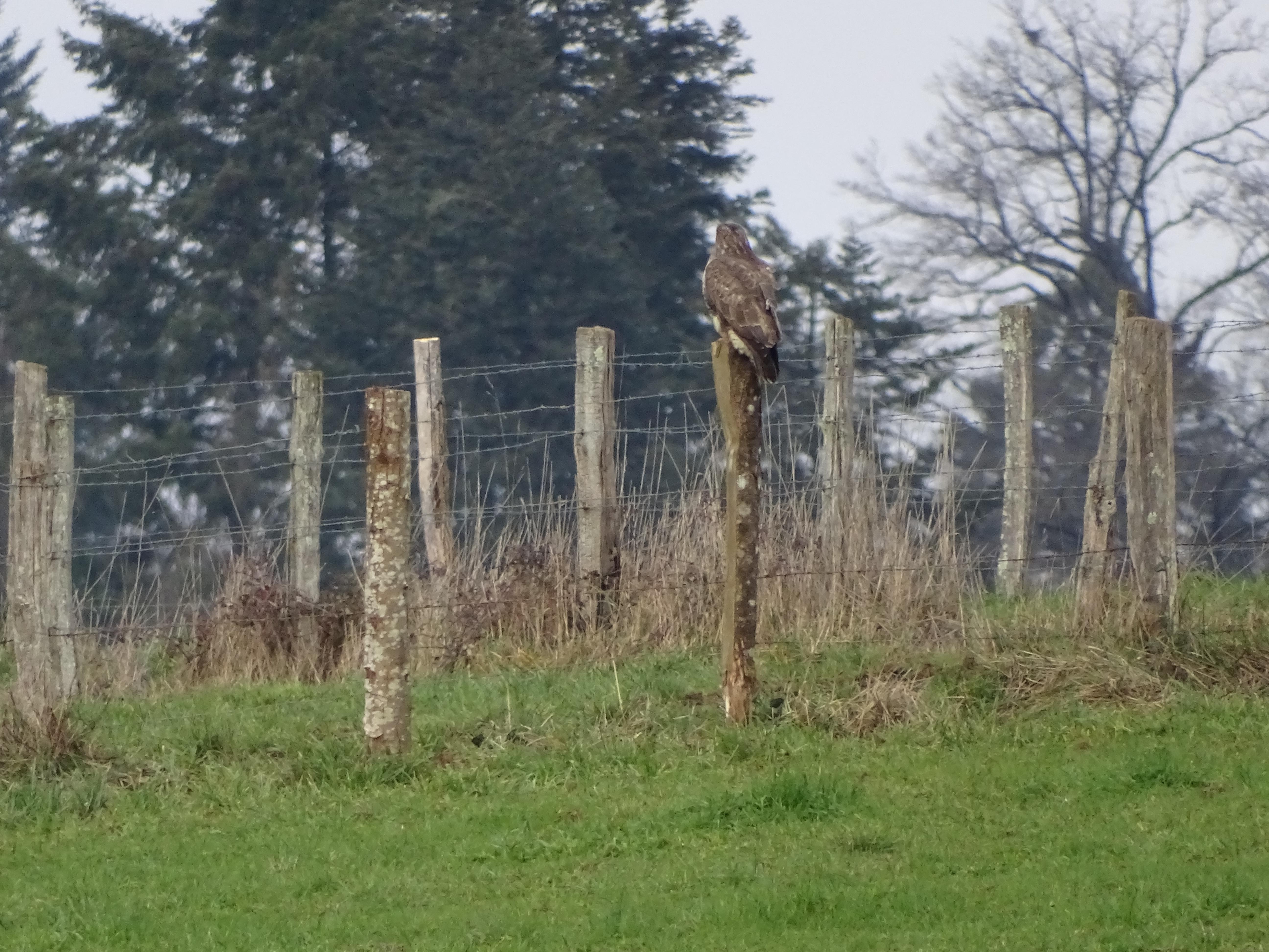 Bird of prey sat on a fence post in a farmers field